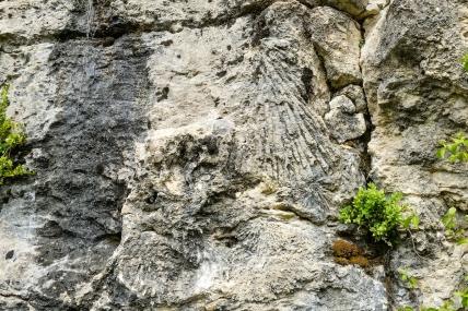 Sédimentologie de faciès au mont-rivel (Jura) - Polypiers branchus